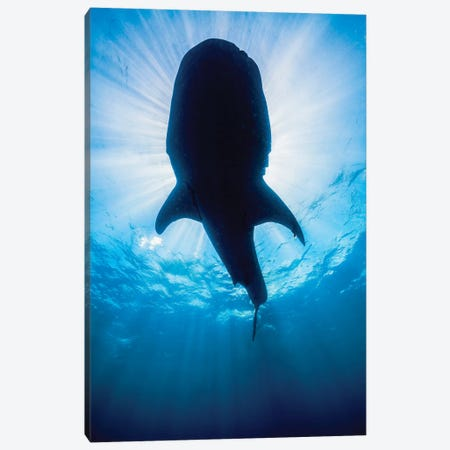 Whale Shark In Isla Mujeres, Mexico II Canvas Print #TRK2098} by Jennifer Idol Art Print