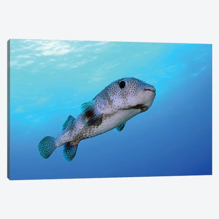 Porcupine Fish Swimming In The Caribbean Sea Canvas Print #TRK2104} by Karen Doody Canvas Art