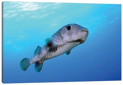 Porcupine Fish Swimming In The Caribbean Sea Canvas Art Print