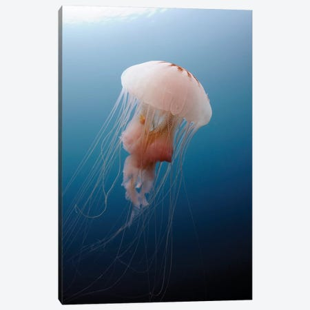 Sea Nettle Jellyfish In Atlantic Ocean I Canvas Print #TRK2106} by Karen Doody Canvas Art