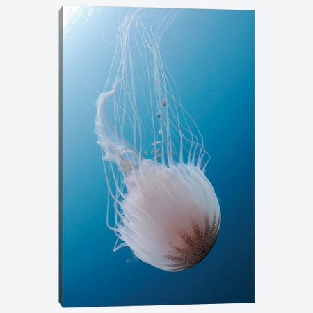 Sea Nettle Jellyfish In Atlantic Ocean II Canvas Print #TRK2107} by Karen Doody Canvas Artwork