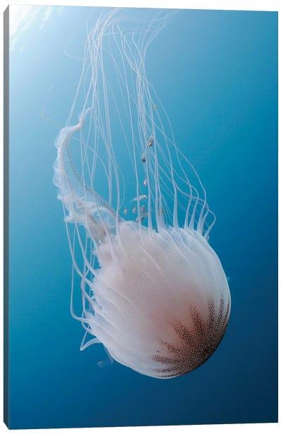 Sea Nettle Jellyfish In Atlantic Ocean II Canvas Art Print
