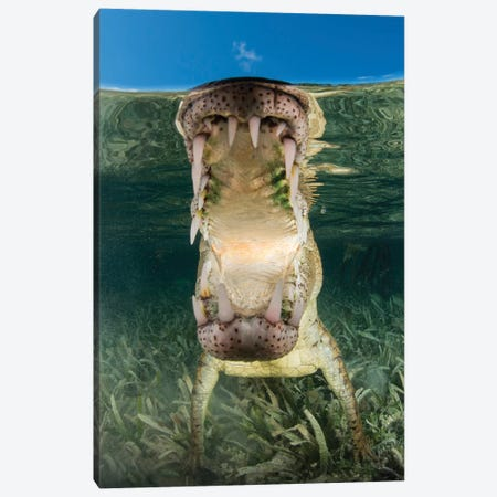 American Saltwater Crocodile In Mangrove Off Of Cuba Canvas Print #TRK2110} by Mathieu Meur Canvas Artwork