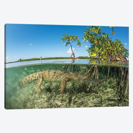 American Saltwater Crocodile Swimming In Mangrove Off Of Cuba Canvas Print #TRK2111} by Mathieu Meur Canvas Wall Art