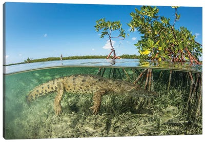 American Saltwater Crocodile Swimming In Mangrove Off Of Cuba Canvas Art Print