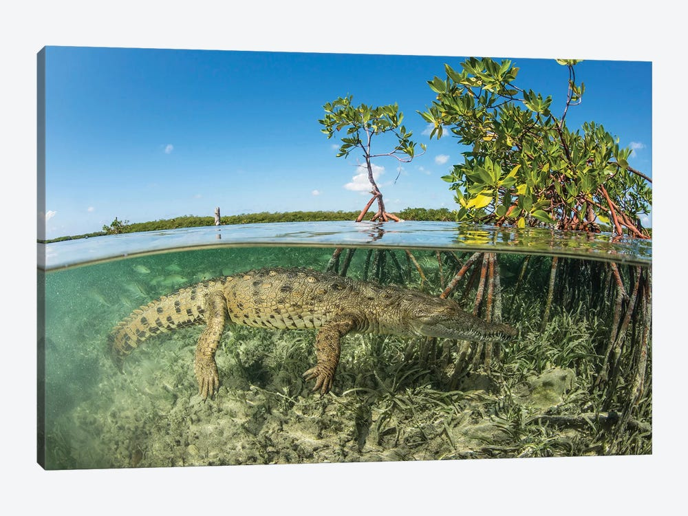 American Saltwater Crocodile Swimming In Mangrove Off Of Cuba by Mathieu Meur 1-piece Canvas Artwork
