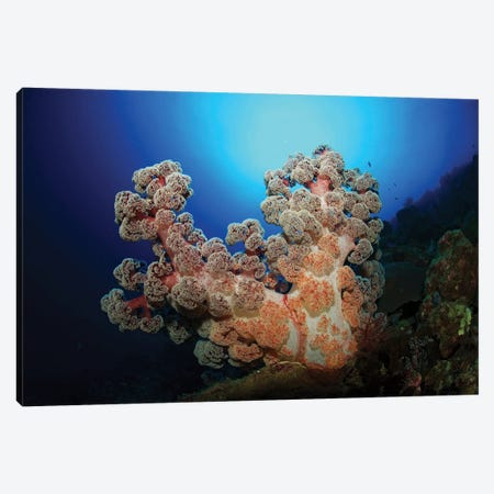 Dendronephthya Soft Coral, Acasta Reef, Indonesia Canvas Print #TRK2112} by Mathieu Meur Canvas Wall Art