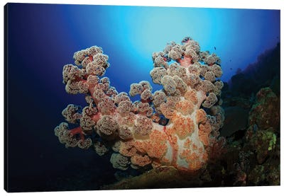 Dendronephthya Soft Coral, Acasta Reef, Indonesia Canvas Art Print