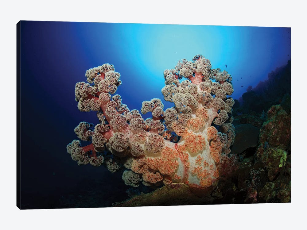Dendronephthya Soft Coral, Acasta Reef, Indonesia by Mathieu Meur 1-piece Art Print