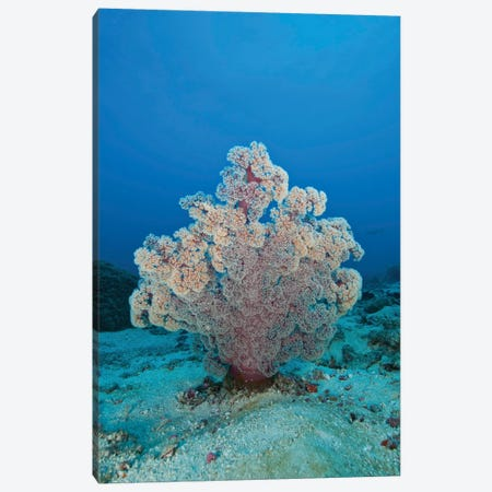 Fluffy Pink And Red Dendronephtya Soft Coral, Indonesia Canvas Print #TRK2113} by Mathieu Meur Canvas Art