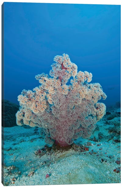 Fluffy Pink And Red Dendronephtya Soft Coral, Indonesia Canvas Art Print