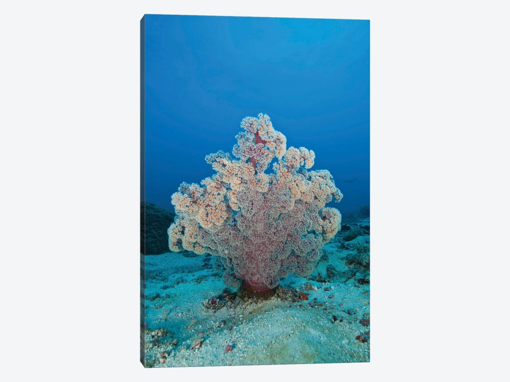 Fluffy Pink And Red Dendronephtya Soft Coral, Indonesia by Mathieu Meur 1-piece Canvas Artwork