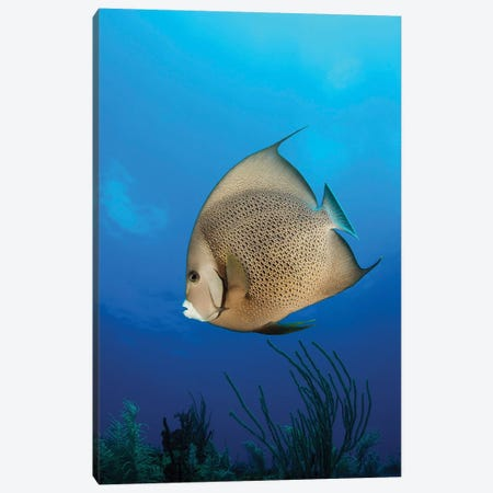 French Angelfish, Jardines de la Reina, Cuba Canvas Print #TRK2114} by Mathieu Meur Canvas Print