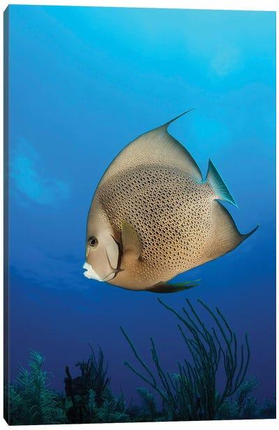 French Angelfish, Jardines de la Reina, Cuba Canvas Art Print