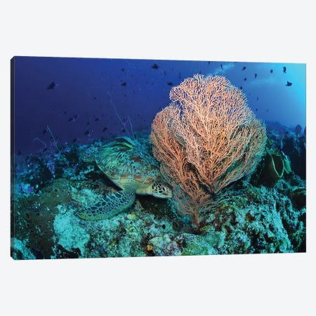 Green Sea Turtle Near A Pink Gorgonian Sea Fan, North Sulawesi Canvas Print #TRK2115} by Mathieu Meur Art Print