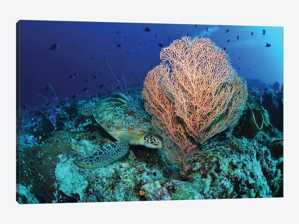 Green Sea Turtle Near A Pink Gorgonian Sea Fan, North Sulawesi by Mathieu Meur 1-piece Canvas Artwork