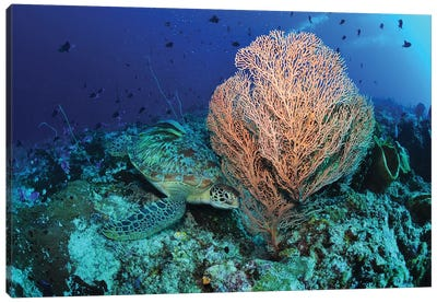 Green Sea Turtle Near A Pink Gorgonian Sea Fan, North Sulawesi Canvas Art Print
