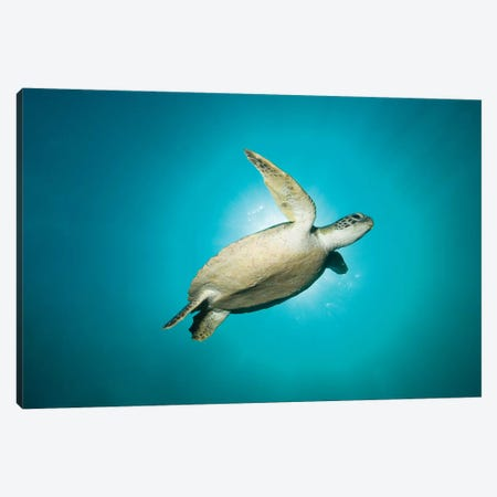 Green Turtle Swimming With Sunburst, New South Wales, Australia Canvas Print #TRK2116} by Mathieu Meur Art Print