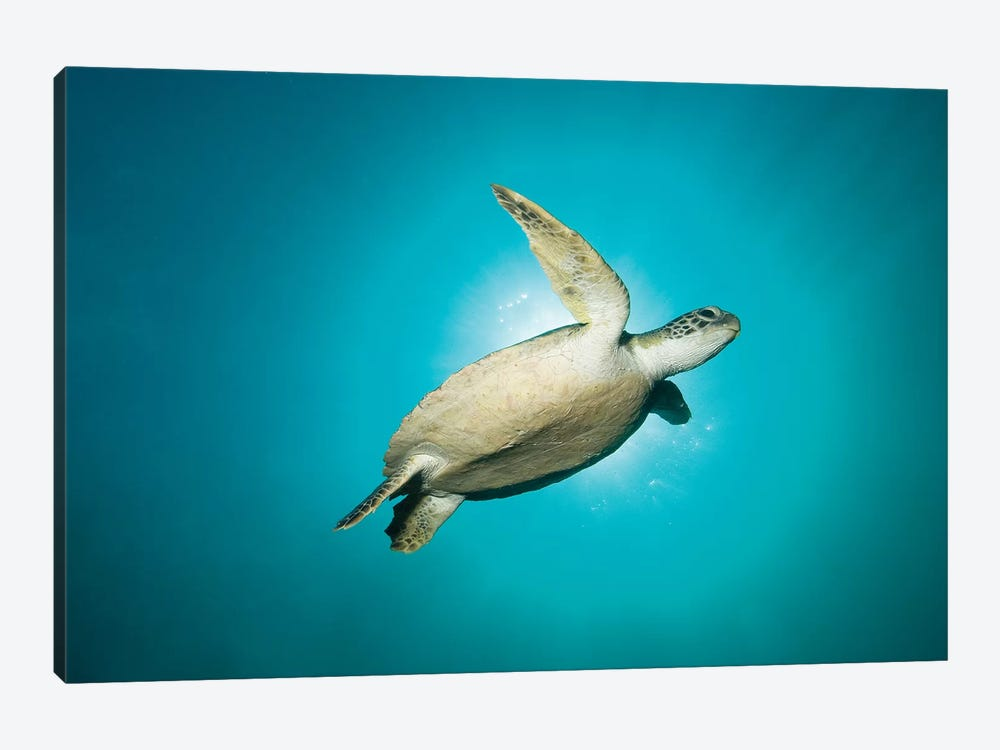 Green Turtle Swimming With Sunburst, New South Wales, Australia by Mathieu Meur 1-piece Canvas Print