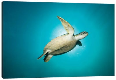 Green Turtle Swimming With Sunburst, New South Wales, Australia Canvas Art Print