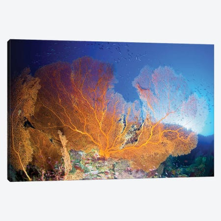 Orange Gorgonian Sea Fan, Christmas Island, Australia Canvas Print #TRK2119} by Mathieu Meur Canvas Art