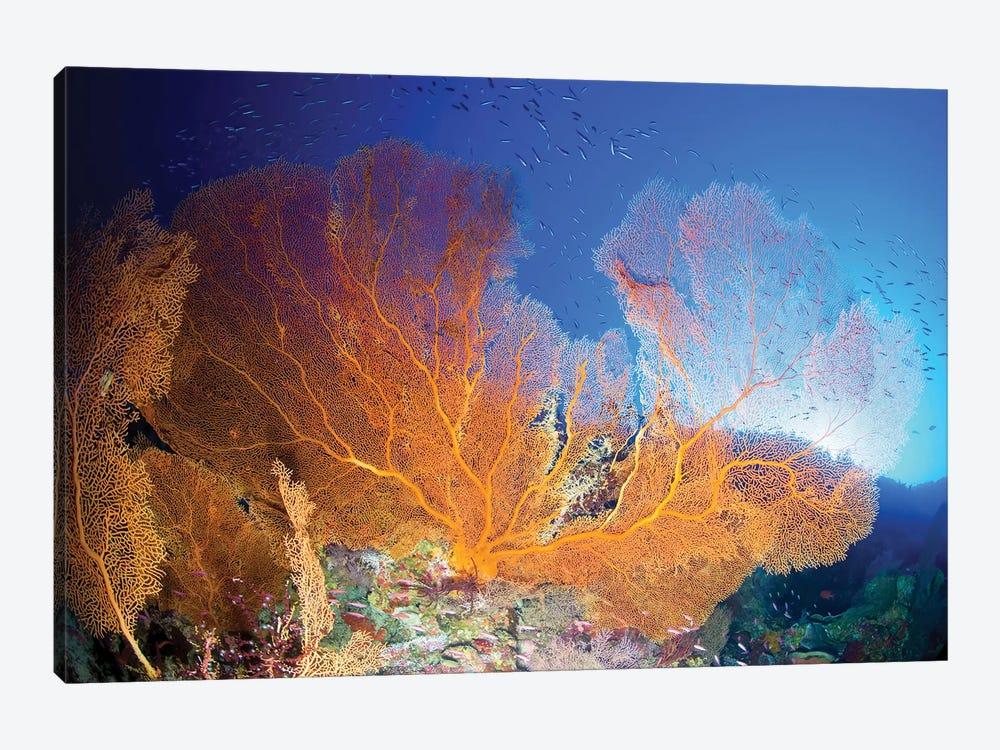 Orange Gorgonian Sea Fan, Christmas Island, Australia by Mathieu Meur 1-piece Canvas Art
