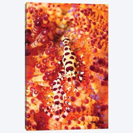Pair Of Coleman Shrimp On A Red And Yellow Fire Urchin, Bali, Indonesia Canvas Print #TRK2120} by Mathieu Meur Art Print