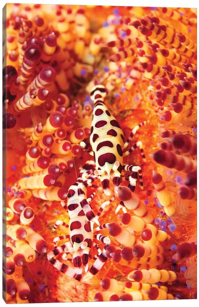 Pair Of Coleman Shrimp On A Red And Yellow Fire Urchin, Bali, Indonesia Canvas Art Print