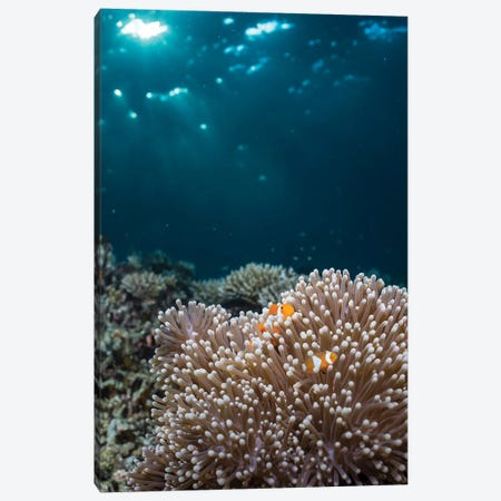 Rays From The Setting Sun Shining On An Anemone With A Pair Of Clownfish Canvas Print #TRK2121} by Mathieu Meur Canvas Print