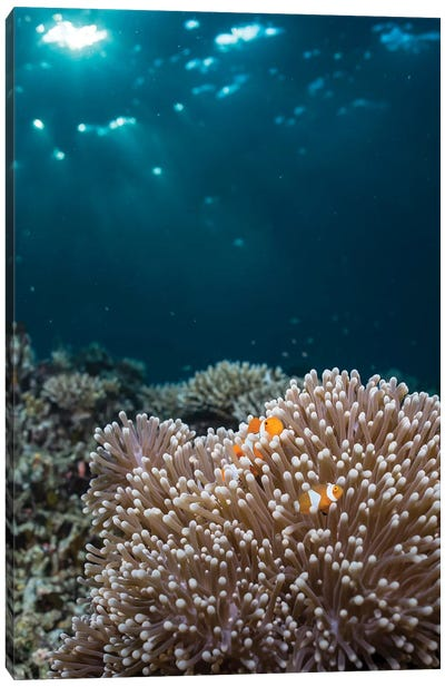 Rays From The Setting Sun Shining On An Anemone With A Pair Of Clownfish Canvas Art Print