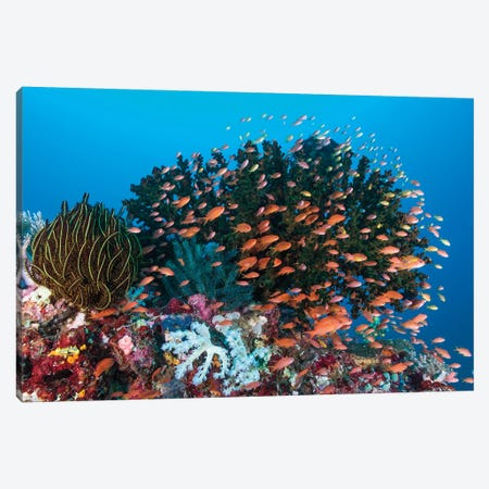 School Of Anthias Fish Swimming Over A Colorful Reef Canvas Print #TRK2123} by Mathieu Meur Canvas Print