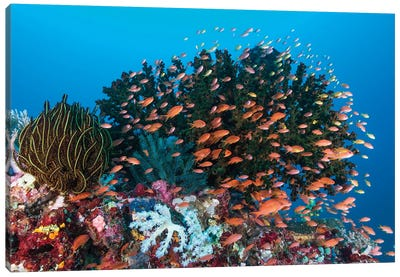 School Of Anthias Fish Swimming Over A Colorful Reef Canvas Art Print