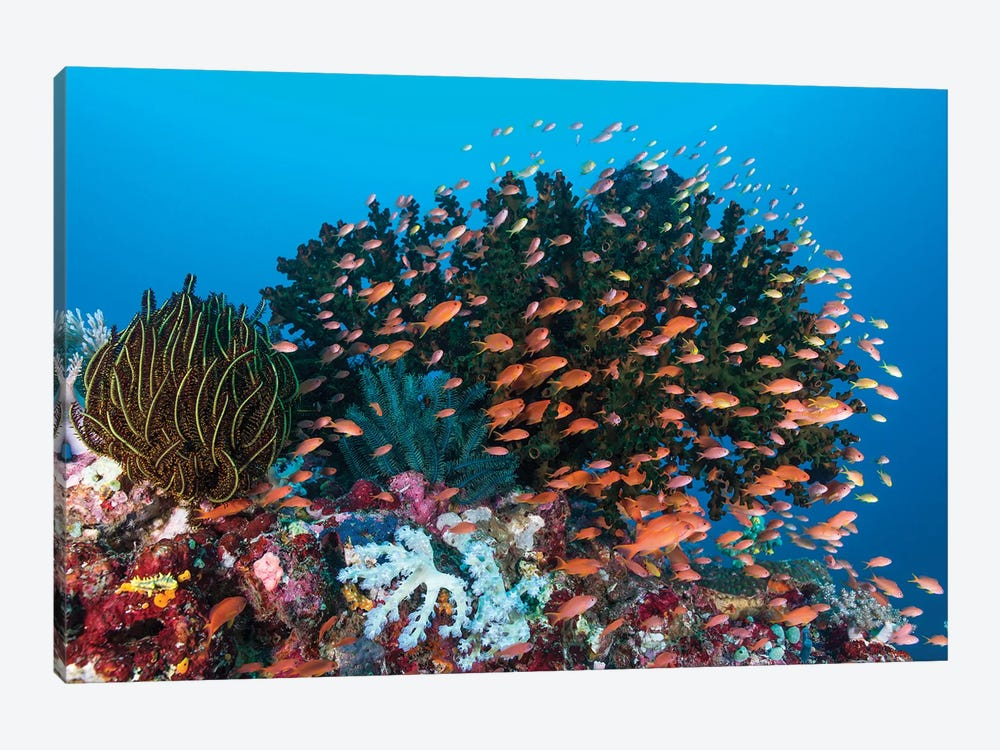 School Of Anthias Fish Swimming Over A Colorful Reef by Mathieu Meur 1-piece Canvas Print