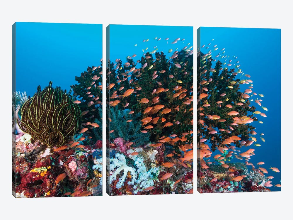 School Of Anthias Fish Swimming Over A Colorful Reef by Mathieu Meur 3-piece Canvas Print