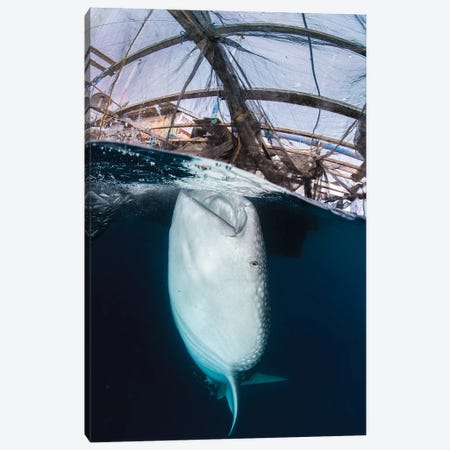 Whale Shark Sucking At Fishing Nets For Scraps Of Fish Canvas Print #TRK2124} by Mathieu Meur Canvas Artwork