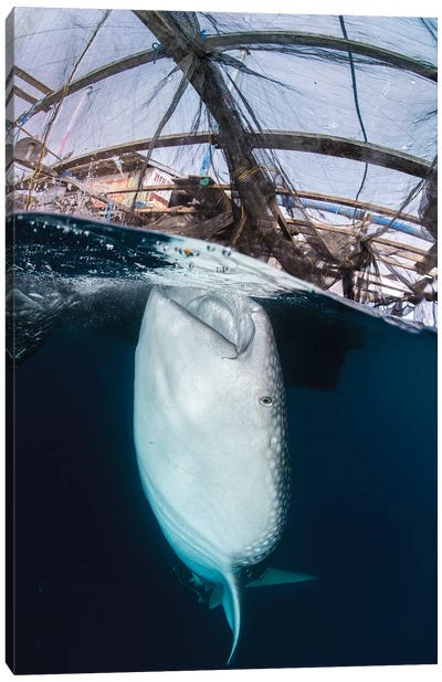 Whale Shark Sucking At Fishing Nets For Scraps Of Fish Canvas Art Print
