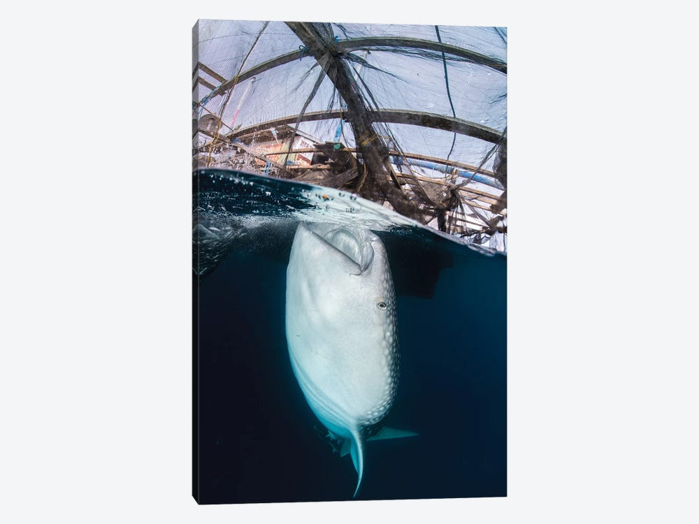 Whale Shark Sucking At Fishing Nets For Scraps Of Fish by Mathieu Meur 1-piece Canvas Art