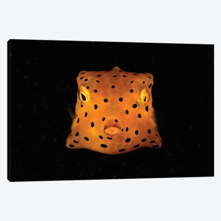 Yellow And Black Spotted Boxfish, North Sulawesi, Indonesia Canvas Print #TRK2125} by Mathieu Meur Canvas Art