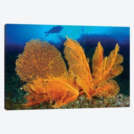 A Diver Looks At Large Gorgonian Sea Fans, Solomon Islands Canvas Print #TRK2126} by Steve Jones Canvas Art