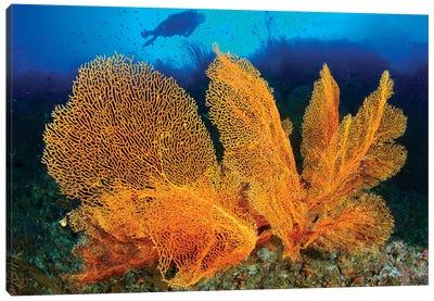 A Diver Looks At Large Gorgonian Sea Fans, Solomon Islands Canvas Art Print