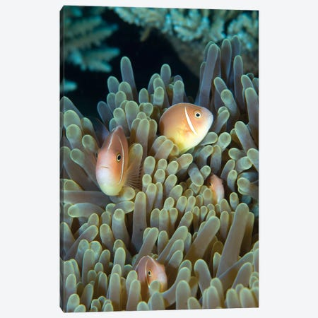 A Family Of Pink Anemonefish In Anemone, Papua New Guinea Canvas Print #TRK2127} by Steve Jones Canvas Art