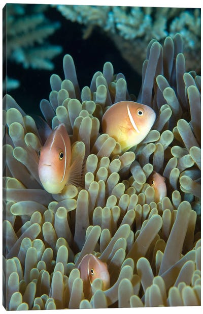 A Family Of Pink Anemonefish In Anemone, Papua New Guinea Canvas Art Print