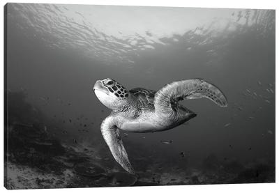A Green Turtle Swimming In Komodo National Park, Indonesia Canvas Art Print