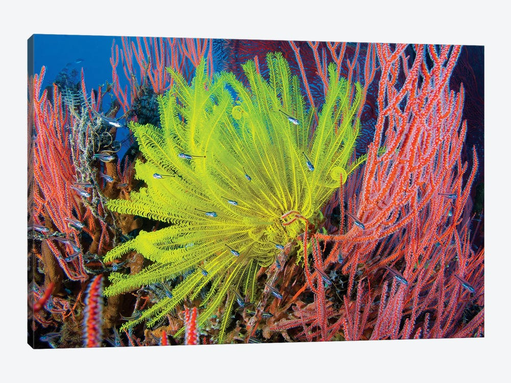 A Yellow Crinoid Feather Star Against Red Fan Coral, Papua New Guinea by Steve Jones 1-piece Canvas Print