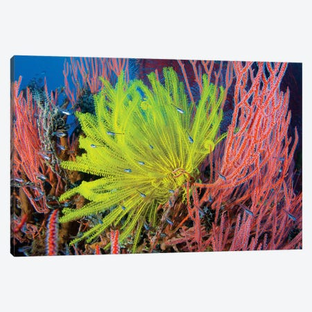 A Yellow Crinoid Feather Star Against Red Fan Coral, Papua New Guinea Canvas Print #TRK2130} by Steve Jones Canvas Wall Art