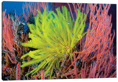 A Yellow Crinoid Feather Star Against Red Fan Coral, Papua New Guinea Canvas Art Print