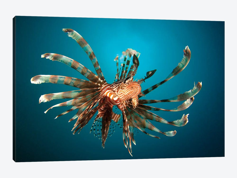 Close-Up View Of A Lionfish Gorontalo, Indonesia by Steve Jones 1-piece Art Print