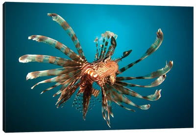 Close-Up View Of A Lionfish Gorontalo, Indonesia Canvas Art Print