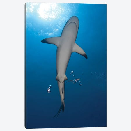 Gray Reef Shark With Remora, Papua New Guinea Canvas Print #TRK2136} by Steve Jones Art Print