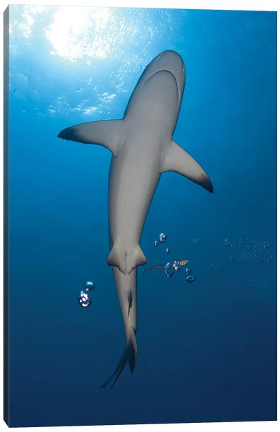 Gray Reef Shark With Remora, Papua New Guinea Canvas Art Print